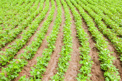 Vegetable  field Stock Image