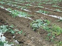 Vegetable field site. Plot of vegetable field. Visible polyethylene film Royalty Free Stock Photo