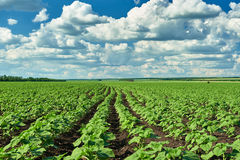Vegetable field and sky summer landscape Stock Photo