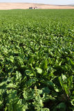 Vegetable Field In Turkey Stock Images