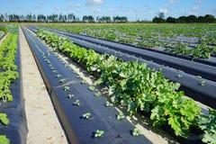 Vegetable field Stock Image