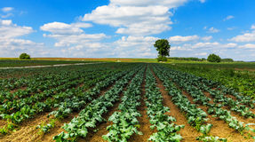 Vegetable fields in early summer Stock Photo