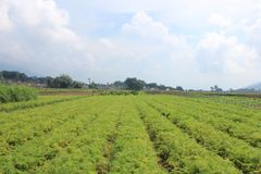 Vegetable Fields In East Java Indonesia stock images