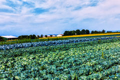 Vegetable fields           Vegetable fields Royalty Free Stock Photo