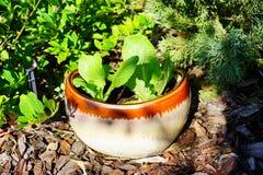 Vegetable in flower pot Stock Photos