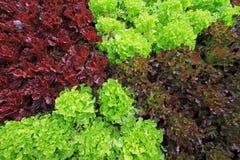 Vegetable, fresh organic food. Fresh green lettuce, Healthy vegetables, Organic food stock photos