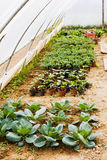 Vegetable garden. Young plants growing in greenhouse - organic cultivation of vegetables Stock Images
