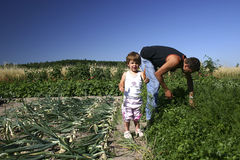 In the vegetable garden. Little girl and her father picking carrots in the garden Stock Photos