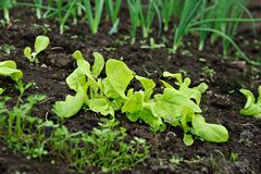 Vegetable Garden. Different Bio vegetable seedlings (lettuce, onion) growing in the soil Royalty Free Stock Photography