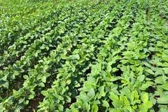 A vegetable garden Royalty Free Stock Photography