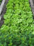 Vegetable Garden. Lettuce plants in my Garden Royalty Free Stock Image