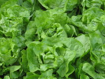 Vegetable Garden. Lettuce plants in my Garden Royalty Free Stock Photography