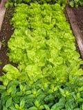 Vegetable garden. Lettuce plants in my garden Royalty Free Stock Photo