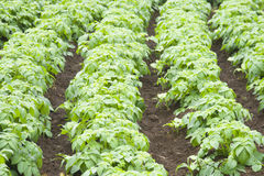 Vegetable_garden Stock Image
