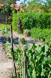 Vegetable garden Royalty Free Stock Photo