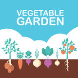 Vegetable garden banner. Organic and healthy food. Poster with root veggies. Royalty Free Stock Photography