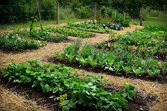 Vegetable Garden. A beautiful vegetable garden mulched with straw. Beans, Cabbage, Brussel sprouts beets, onions peas,, turnips, etc. Taken at Old World stock photo