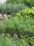 Vegetable garden bed. Grow vegetables garden bed with fennel, onion, spinach and carrots plants Stock Photo