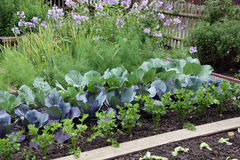Vegetable garden bed. With plants of carrots persley cabbage in the springtime Royalty Free Stock Photography