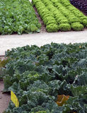 Vegetable garden beds with salad and cale Stock Photography