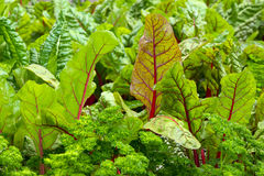 Vegetable garden with beet and parsley Stock Photography
