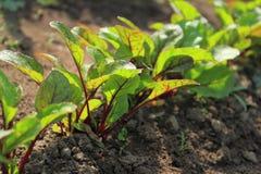 Vegetable garden with beetroot plants Stock Image