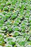 Vegetable garden cabbage Royalty Free Stock Photos