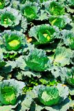Vegetable garden cabbage Royalty Free Stock Image