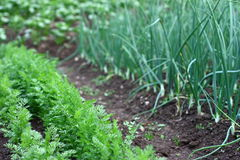 Vegetable garden. Garden with carrots, garlic and potato plants Royalty Free Stock Photography