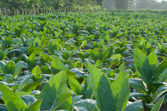 Vegetable garden. Of Chinese kale and ready for harvest. Taken at Kanchanaburi, Thailand Stock Photography