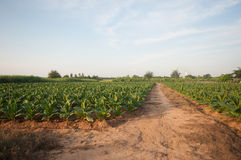 Vegetable garden. Of Chinese kale and ready for harvest. Taken at Kanchanaburi, Thailand Stock Photos