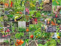 Vegetable garden. Collage with vegetables and gardening in vegetable garden Stock Photos