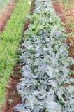 Vegetable garden. Cultivating the garden of vegetables Stock Image