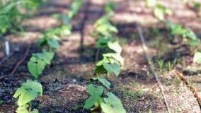 Vegetable garden. Early summer in urban vegetable garden stock footage