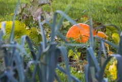 Vegetable garden, formal garden, pumpkin, leek, grass, orange, g Royalty Free Stock Image