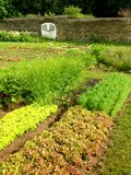 Vegetable garden. Growing vegetables and salads in the garden in summer Stock Photography
