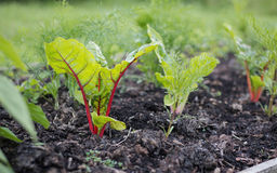 Vegetable Garden Growing Young Swiss Chard and Herbs. Stock Photography