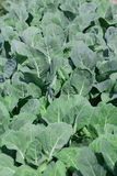 Vegetable garden with kale. Chinese kale grown in the garden Stock Photos