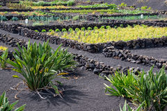 Vegetable garden in Lanzarote, Canary islands, Spain Royalty Free Stock Images