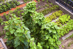 A vegetable garden. Royalty Free Stock Image