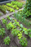 A vegetable garden. Royalty Free Stock Photography