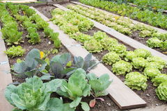 Vegetable garden with lattuce and cabbage Stock Image