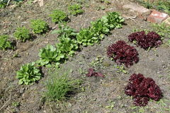 Vegetable garden. With lettuce, parsley and cornsalad royalty free stock image