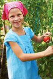 Vegetable garden - lovely gardener with harvests of  tomatoe Stock Photography