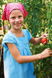Vegetable garden - lovely gardener with harvests of  tomatoe Stock Images