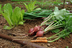 Vegetable garden - mixed vegtables Royalty Free Stock Photo