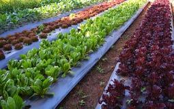 Vegetable garden. Vegetable Organic In the vegetable garden Royalty Free Stock Photography