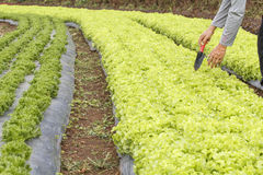 Vegetable garden ,with plastic film protected in land. Stock Photo