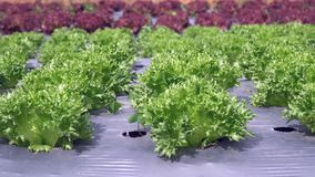 Vegetable garden ,with plastic film protected in land. The plastic film used vegetable insulation and prevent weeds and soil erosion stock video