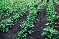 Vegetable garden potato plantations royalty free stock photos